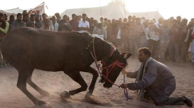 Forget About Dancing Girls. Meet The Dancing Cattle Of Nagaur Thumbnail