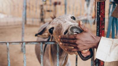 Meet Panna Lal, The Tobacco-Chewing Donkey Who Can Tell If You Are Having An Extra Marital Affair