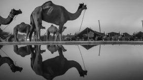 The Pushkar Camel Fair Might Soon Have To Drop 'Camel' From Its Name