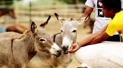 Saving The Donkey